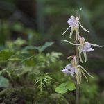 Antbarzdė - Lietuvos orchidėjų legenda