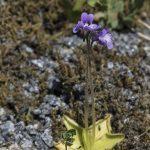 Tuklė - vabzdžiaėdis augalas