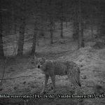 Labanoro girios vilkas
