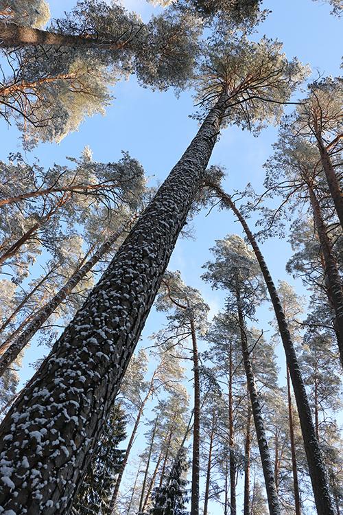 Aukščiausia Lietuvos pušis (44m) auga Labanoro girioje