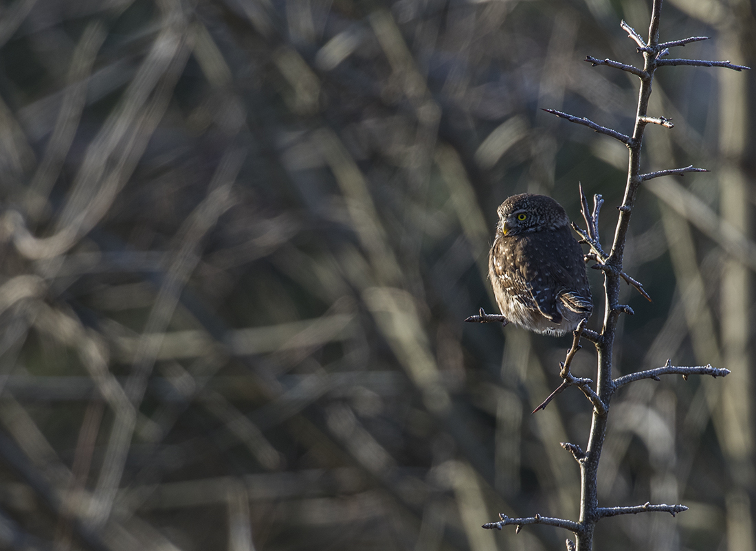 Žvirblinukė medžioja